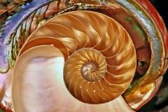 Nautilus &Abolone Shells.