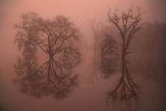 Treesin Fog