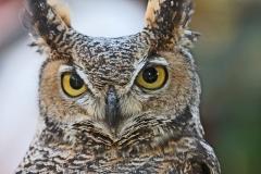 1_Owl