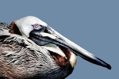 1_Pelican