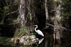 Egret Among Trees