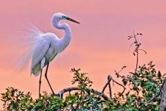 Egret-in-Venice-Fl