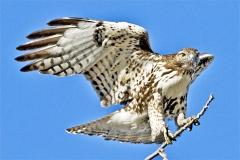 Redtail-Hawk