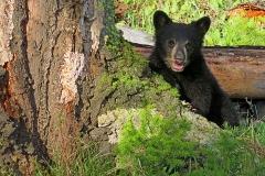 Baby-Black-Bear