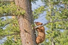 Cinnamon-Bear-Cub