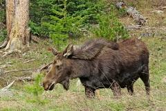Cow-moose