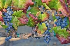 Blue Grapes.