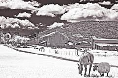 Horsesheep